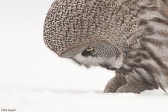 Lapinpöllö (mattisj) Tags: aves birds eläimet fåglar greatgreyowl lapinpöllö linnut pöllölinnut pöllöt strigidae strigiformes strixnebulosa lappuggla