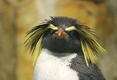 Rockhopper Close-up (Pauline Brock) Tags: zoo penguin montreal biodome rockhopper