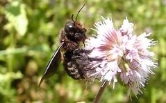 Xylocopa iris m - 03 IX 2010 (el.gritche) Tags: hymenoptera apidae xylocopinae xylocopa iris xylocopairis france 40 garden nest bee abeille