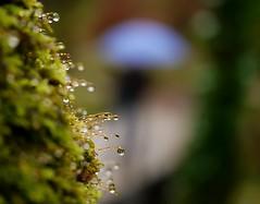 Era un día de paraguas azules........ (T.I.T.A.) Tags: macro musgo lluvia gotas tita carmensolla rutadelosmolinosdemeis carmensollafotografía carmensollaimágenes