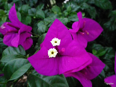 Bougainvillea Elizabeth Angus  3-5-2014 7-23-053 (1guy2be) Tags: pink white flower color nature closeup purple pentax florida magenta fuchsia vine bougainvillea showy 1guy2be elizabethangus in2it2much richardpriceelliott homesanctuary elizabethangusbougainvillea bougainvilleaelizabethangus bugambiliasantarita bugambiliasantaritabougainvillea