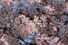 Spring Blossom 91/365 (pollylew) Tags: spring flora blossom april cherryblossom earlyspringblossom