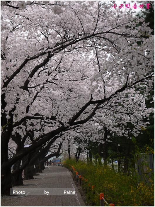 首爾汝矣島輪中路櫻花 (71).JPG