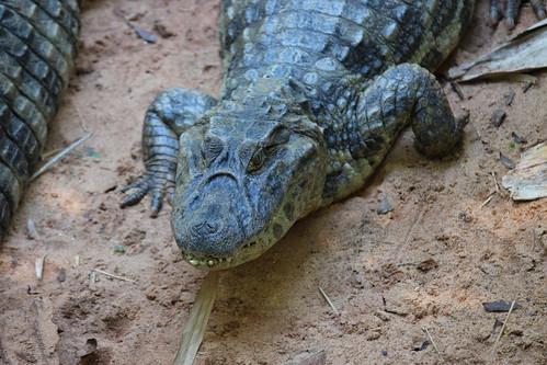Iguassu Parque das Aves, broad-snouted camain IMG_2782