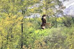 Magnifica Creatura.. (Dilet) Tags: natura uccelli birdwatching nibbio rapaci nibbi nibbioreale cupinoro