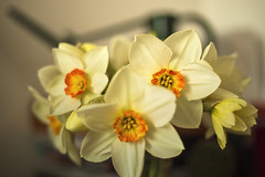 Daffodils (Ambra Marras) Tags: flowers light red orange color colour green yellow easter spring pretty glow bright seasonal bunch british daffodils narciso narcissus