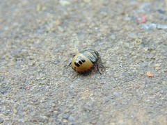 Shield bug juvenile instar (SimonTHGolfer) Tags: england mystery bug insect suffolk sony cybershot juvenile dsc unidentified shieldbug hemiptera instar h200 pixlr flickrandroidapp:filter=none