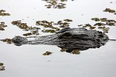 American Alligator in the wild (Squash Goddess) Tags: lake pond florida gator reptile swamp americanalligator greencovesprings