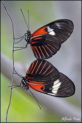 Heliconius melpomene (alfvet) Tags: macro ngc butterflies npc vacanze insetti romagna farfalle veterinarifotografi