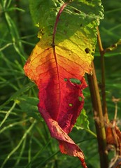 Autumn leaf in summer (Elisa1880) Tags: plant netherlands leiden leaf nederland blad coloured kleuren gekleurd heempark