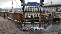 Catch of the day in Seward