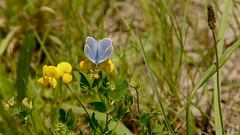 Hauhechel-Bläuling, männlich (Polyommatus icarus) (in explore) (Oerliuschi) Tags: butterfly natur schmetterling bläuling hauhechelbläuling