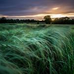 Grass-Sunset