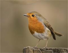 European Robin (Charles Connor) Tags: europeanrobin robins tinybirds gardensbirds birdphotography colourfulbirds uknature naturephotography wildlifephotography wildbirds wild canon100400lens canon7dmk11