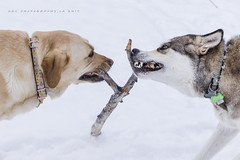 Make a Wish / It's On (DGC Photography.ca) Tags: stick wishbone dogs dogpark teeth jaws snow dougcallow dgcphotographyca littledoglaughedstories inspiredbylove