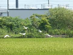 Egret flight (Stop carbon pollution) Tags: japan 日本 honshuu 本州 touhoku 東北 miyagiken 宮城県