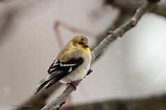 American Goldfinch in transitional plumage (shutterbug40) Tags: maleamericangoldfinch transitionalplumage breedingplumage backyardfeederbird nyjerseed birghtyellowandblackbird molting