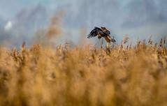 Marsh Harrier hunting (dangerousdavecarper) Tags: marsh harrier hunting birdofprey reeds