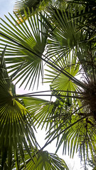 (ola_alexeeva) Tags: кавказ caucasian caucas сочи март весна россия russia spring green palms leaves texture
