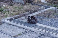 Today's Cat@2017-03-29 (masatsu) Tags: cat thebiggestgroupwithonlycats catspotting pentax mx1