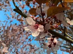 WP_20170325_09_06_44_Pro (vale 83) Tags: blossom microsoft lumia 550 friends macrodreams flickrcolour coloursplosion colourartaward autofocus wpphoto wearejuxt beautifulexpression yourbestoftoday