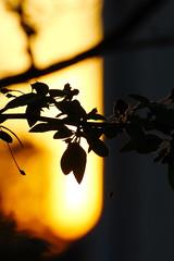 Gegenlicht (jueheu) Tags: abendsonne abendstimmung sonne sun schatten shadow gegenlicht zweig ast sunrise sunset bokeh scharf unscharf gelb yellow orange