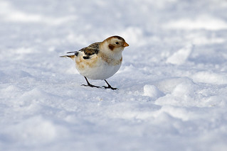 Snow Bunting