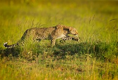"Stalking Leopard ReEdit. ""in explore"" (Glatz Nature Photography) Tags: leopard pantherapardus stalk kenya africa predator eveninglight maasaimara actionshot"