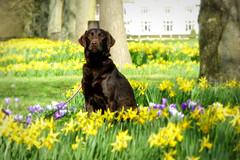 Ruby (skoop102) Tags: dog chocolate brown labradorcross daffodil daffodils crocus warwickshire coventry coombeabbey coombe coombecountrypark coombeabbeycountrypark flowers spring sunshine