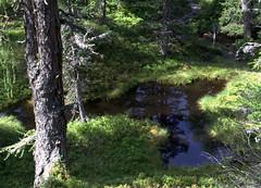 01-IMG_8367 (hemingwayfoto) Tags: österreich austria baum europa fichte hochmoor hohetauern landschaft moorauge nationalpark natur naturschutzgebiet rauris rauriserurwald reise tannenbaum urwald wald