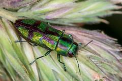 Melobasis purpurascens (andrewallen9) Tags: jewelbeetle beetle australia melobasispurpurascens melobasis