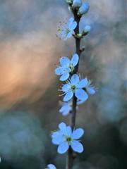 prunus spinosa in evening light  III (pancolar user) Tags: prunus spinosa schlehe weiss white pancolar 14 50mm