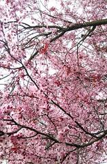 Spring plum blossoms (Djspaper) Tags: plumblossoms blossoms