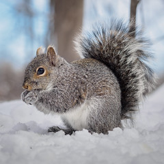 Squirrel at Mud Lake, Ottawa (TomPhotoWorld) Tags: squirrel winter animal omdem1 75mm18 animalplanet