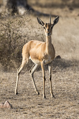 Chinkara (Shubh M Singh) Tags: chinkara india indian wildlife gazelle deer ranthambhore portrait