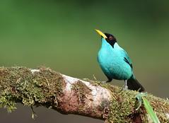 Green Honeycreeper (anacm.silva) Tags: greenhoneycreeper honeycreeper ave bird wild wildlife nature natureza naturaleza birds aves bocatapada costarica lagunadellagarto chlorophanesspiza ngc