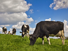 Cows at grass (Alan10eden) Tags: ireland grass animal canon cow milk farm bluesky northernireland farmer dairy livestock grazing holstein ulster paddock ryegrass countyarmagh 60d