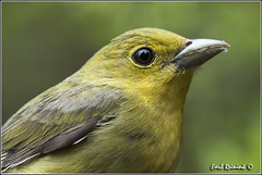 Scarlet Tanager (130518-0252) (Earl Reinink) Tags: park ontario canada art nature point photography nikon flickr photographer image images earl flikr park provincial d4 art nikon rock photography images nature provincial lens ontario canada ontbirds fine earl photographer lenses reinink reinink d4 niagara