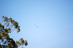 DSC_1081 (john.r.d.reynolds) Tags: goldengatepark birds wildlife flight raptors redtailedhawk