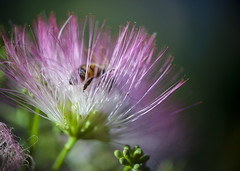 Bee in the mimosa 02 (BullockStudios) Tags: pink red white flower tree green bug insect fan texas katy south feather bee bloom fiber mimosa