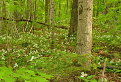 Forest ground cover of White Trillium (Trillium grandiflorum) (Yvon from Ottawa) Tags: ontario canada emblem trillium whiteflower chelsea quebec ottawa conservation species endangered wildflower concern vulnerability whitetrillium grandiflorum officialflower
