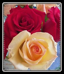 That aristocratic quality (MissyPenny) Tags: red roses flower yellow tearoses bristolpennsylvania pdlaich missypenny