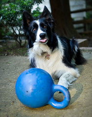 Duncan's opinion of Ross (duncansalchemist) Tags: bordercollie nikkor35mmf18g