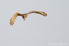 Northern Harrier bringing in meal for juniors - IMG_6450 (arvind agrawal) Tags: