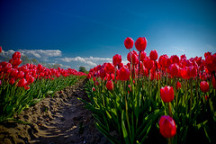Tulips from the Netherlands... (Waku Waku) Tags: flowers blue red netherlands dutch landscape tulips sony alpha550