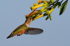 Allen's Hummingbird at Bolsa Chica wetlands, CA (OC Hiker) Tags: california birds orangecounty allenshummingbird selasphorussasin bolsachicawetlands afsdxnikkor55300mmf4556gedvr nikond5100  06062013