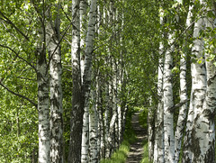 The Birch Alley (Steffe) Tags: trees summer birch birches flickrlicensing