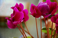 Textured cyclamen (Odhphoto) Tags: pink flowers texture cyclamen kk 2933