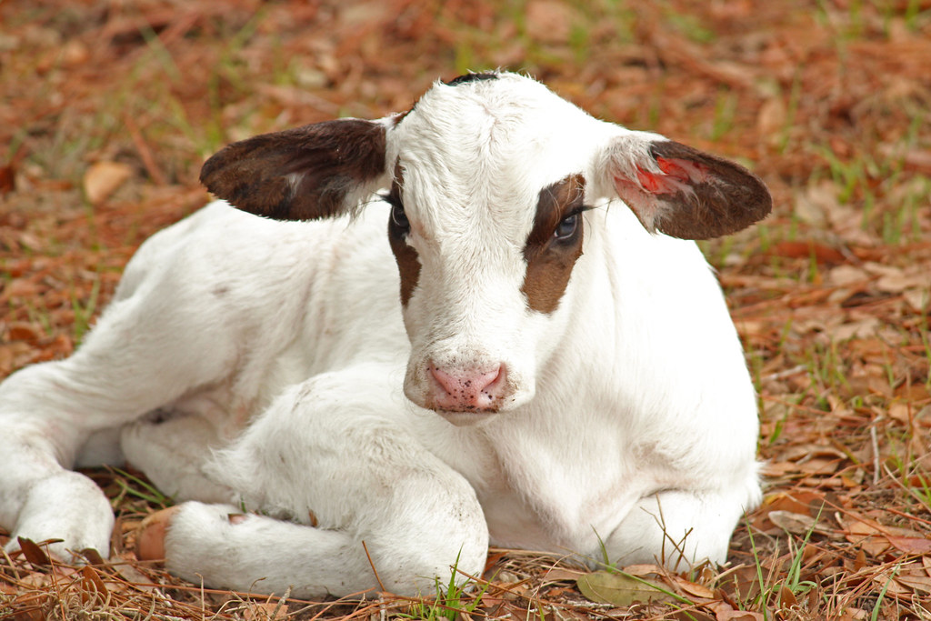 The Worlds Most Recently Posted Photos Of Calf And Eyelashes