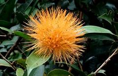 Uma esponja de ouro   -   Quinta Flower (Angelica Takche) Tags: flor amarelo esponja